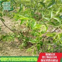 山东泰安葫芦枣树苗管理技术【多年种植经验】