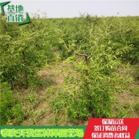 山东泰安枣树苗、枣树苗栽培管理
