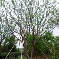 朴树20公分及丛生朴树价格(2-6杆)