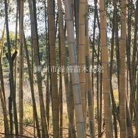绍兴6—10 公分黄金翡翠竹