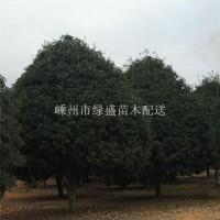 绍兴冠幅4—5 米的小叶精品桂花