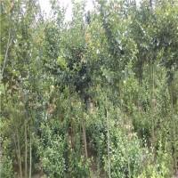 5公分紫薇树绿化苗价格