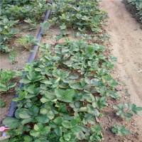 20高章姬草莓苗如何种植、16高甜宝草莓苗...