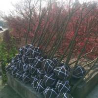 5公分红枫自己的货价格优惠 大量批发红枫