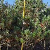 内蒙古鄂尔多斯供应油松达拉特旗货源4米油松