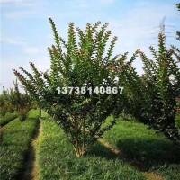 杭州供应优质丛生紫薇 基地直销