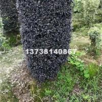 杭州供应优质红花继木柱 价格便宜