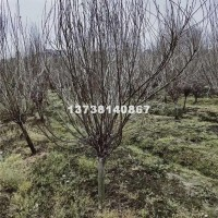 杭州独干木槿 优质货源