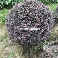 杭州供应优质红花继木球 球类 价格