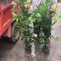 天竺桂笼子大量批发 1.2-1.5米天竺桂...