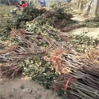 山东泰安红富士苹果苗大量供应红富士苹果苗低价批发