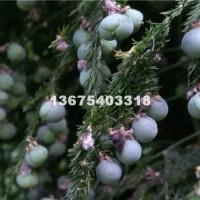 菏泽供应文竹种子500g500元