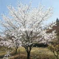 绍兴出售8-15公分樱花,嵊州樱花...