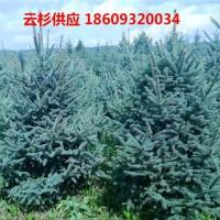 云杉苗木种植-云杉树苗批发销售