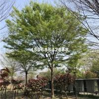 绍兴供应榉树  价格优惠 便宜卖