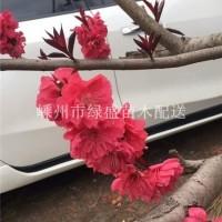 绍兴供应6–10 公分紫叶碧桃