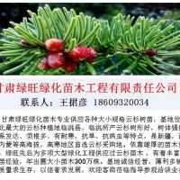 云杉树苗种植数量多-云杉育苗面积大