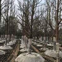 四川成都全冠香樟苗圃批发价 香樟基地直供量大从优
