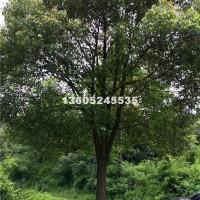 宿迁供应各种规格香樟树