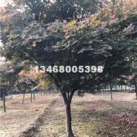泰安供应各种规格优质日本红枫,价格