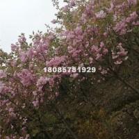 毕节日本晚桉樱花8—12cm价格3...