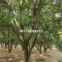 九江供应椪柑树
