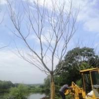 江苏南京全新朴树价格,心悦诚朴树及其他品种介绍