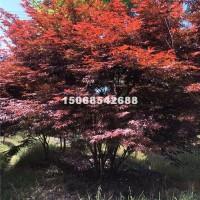 绍兴供应丛生红枫