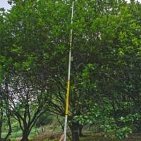桂林柚子树