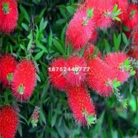 宿迁长期供应各种规格花境植物阔叶红...