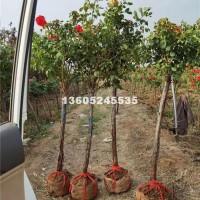 宿迁处理大量2-5公分树状月季、月...
