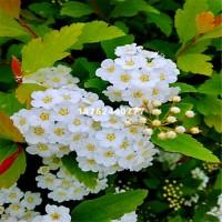 宿迁长期供应各种规格花境植物菱叶绣...