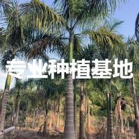 漳州福建大王椰子价格 广东大王椰子...