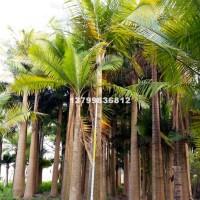 漳州国王椰子