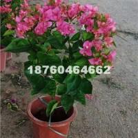 漳州水红三角梅