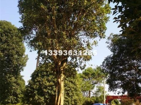 桂林桂花树金桂长期大量供应桂花15