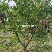 成都桃子树批发价格 成都桃子树基地熟货价格