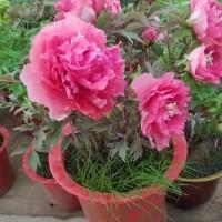牡丹盆栽批发、春节催花观赏牡丹价格