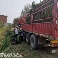 江苏南京湿地松供应-年产千万株湿地松苗-美洋洋绿化
