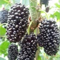 供应黑珍珠桑葚树苗批发