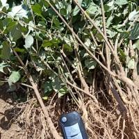 山西药用连翘小苗、山坡绿化需求连翘树苗、批发连翘树苗