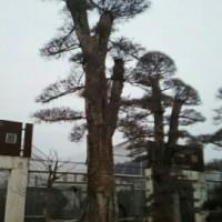 江苏销售景观树,蜀桧苗木,龙柏球工程苗木,欢迎来电了解