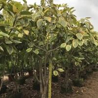 树高可达30米造景绿化树丛生富贵榕 规格齐全
