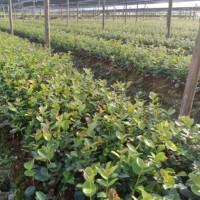 良种油茶树苗最新品种,油茶的生长环境,高产油茶树苗圃基地