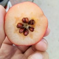 八棱海棠种子 八棱海棠籽 2021年沙藏新种子