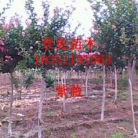 沭阳批发红花紫薇,红枫,垂丝海棠等工程苗木
