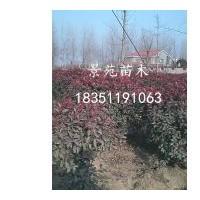 沭阳销售红叶石楠价格批发,独杆石楠价格报价,红花檵木球