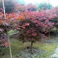 沭阳批发红枫苗木,红花紫薇苗木,紫叶李苗木。