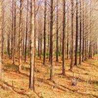宿迁销售水杉,榆叶梅,红花紫薇等绿化苗木