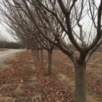沭阳销售樱花苗木,榉树,朴树等苗木
